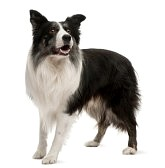 8972072-border-collie-permanente-de-fondo-blanco