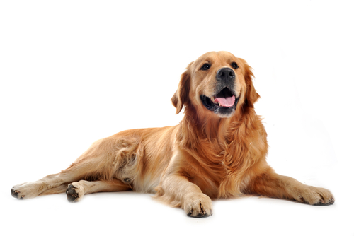 golden_retriever_1