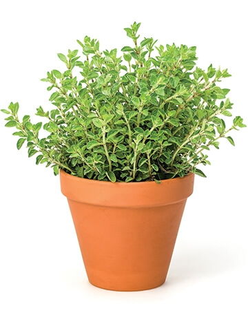 Oregano-for-Dogs